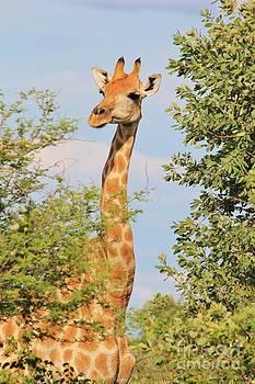 Giraffe - African Wildlife - Elegant Portrait by Hermanus A Alberts