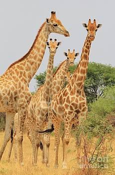 Hermanus A Alberts - Giraffe - African Wildlife - Family of Patterns