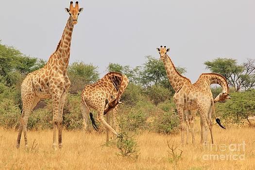 Hermanus A Alberts - Giraffe - African Wildlife - Funny Bow