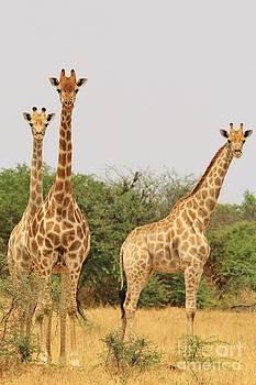 Hermanus A Alberts - Giraffe - African Wildlife - Poses in Nautre