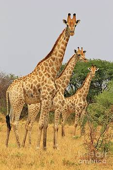 Hermanus A Alberts - Giraffe - African Wildlife - Shapes and Sizes