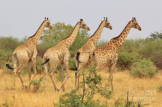 Hermanus A Alberts - Giraffe - African Wildlife - Symmetry of Four