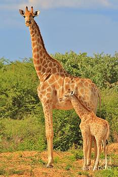 Giraffe - African Wildlife Background - Baby Animal by Hermanus A Alberts