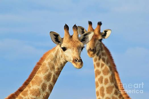 Hermanus A Alberts - Giraffe - African Wildlife Background - Curious Stare