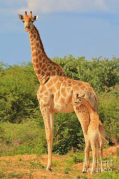 Hermanus A Alberts - Giraffe - African Wildlife Background - Loving Mom