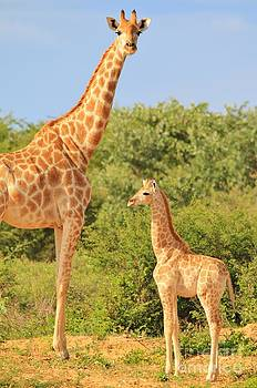 Hermanus A Alberts - Giraffe - African Wildlife Background - Sizes in Nature