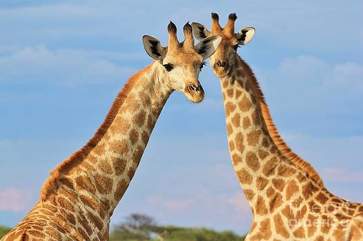 Hermanus A Alberts - Giraffe - African Wildlife Background - Symmetry in Nature