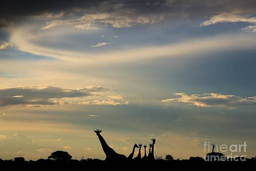 Giraffe - Epic Beauty in Nature by Hermanus A Alberts