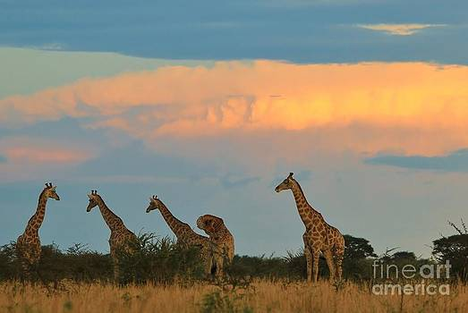 Giraffe - Sunset Storm Super Colors by Hermanus A Alberts