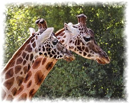 Paul Gulliver - Giraffe 03