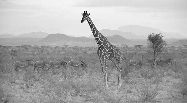 Giraffe by Angel Sosa
