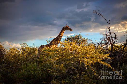 Katka Pruskova - Giraffe at Sunset
