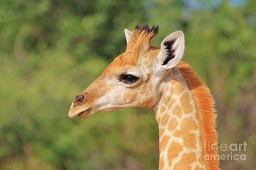 Giraffe Baby - Posture of Life by Hermanus A Alberts