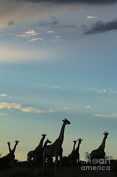Giraffe Blues - Natural Freedom by Hermanus A Alberts