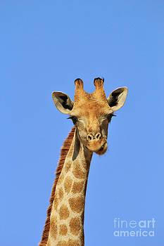 Hermanus A Alberts - Giraffe Colors - Expression of Fun