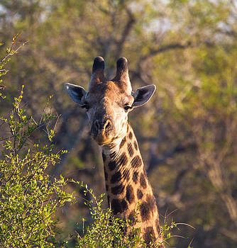 Giraffe by Craig Brown