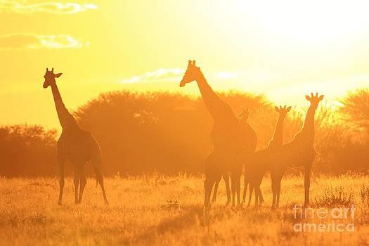 Hermanus A Alberts - Giraffe Golden Family