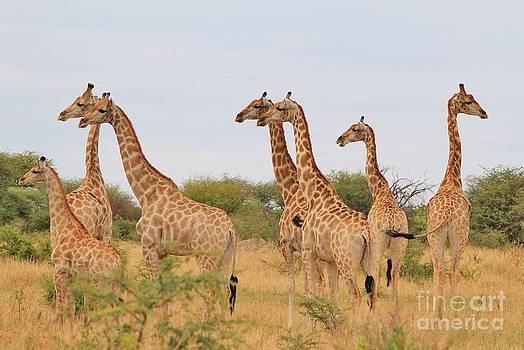 Hermanus A Alberts - Giraffe Humor - Natural Fun and Iconic Beauty