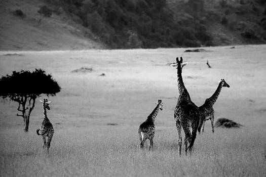 Sebastian Musial - Giraffe in Black and White