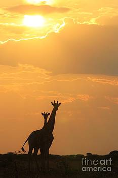 Hermanus A Alberts - Giraffe Love of Sunsets
