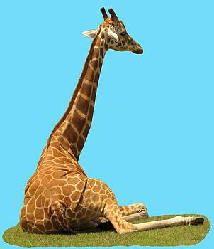 MTBobbins Photography - Giraffe on Blue