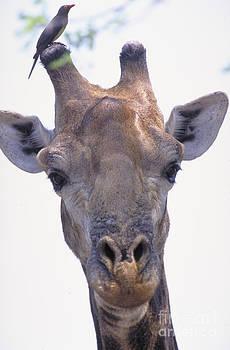 Art Wolfe - Giraffe