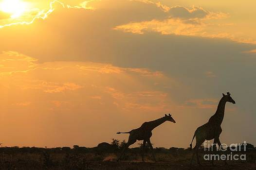 Hermanus A Alberts - Giraffe Run - Sunset Gold and Freedom