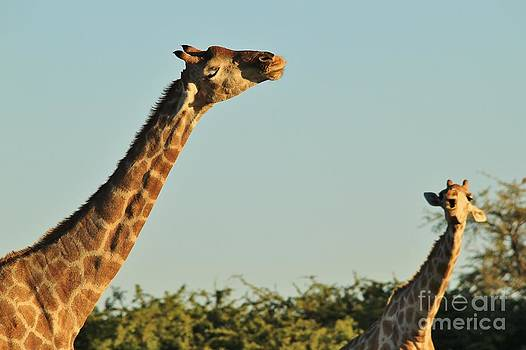 Hermanus A Alberts - Giraffe Serenade of the Wild