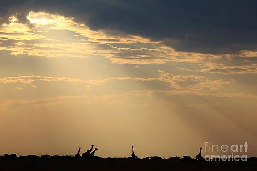 Hermanus A Alberts - Giraffe Silhouette - Sun Light and Beams from Nature