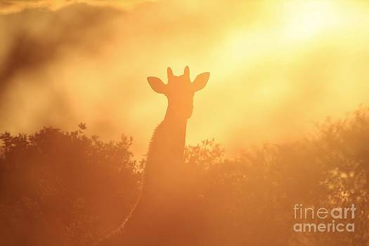 Hermanus A Alberts - Giraffe Solitude and Tranquility