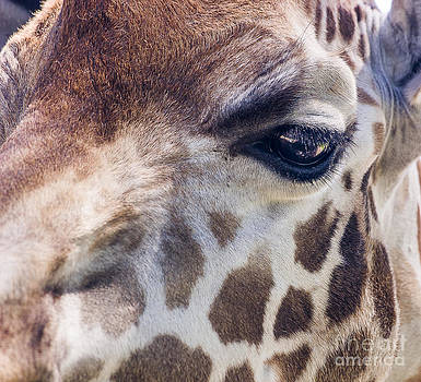 Steven Ralser - Giraffe