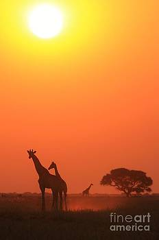 Giraffe Sunset - Epic Freedom by Hermanus A Alberts