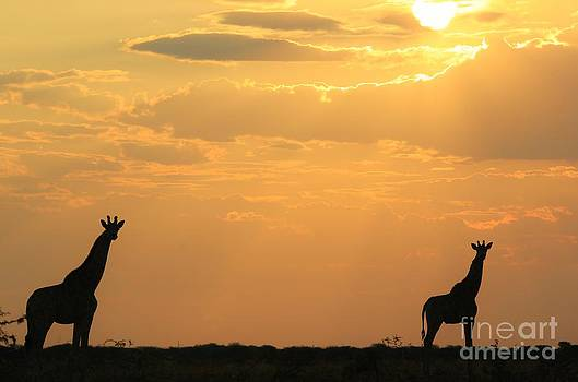 Hermanus A Alberts - Giraffe Sunset - Silhouette of Tranquility
