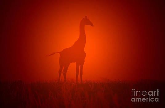 Hermanus A Alberts - Giraffe Sunset and Golden Nature