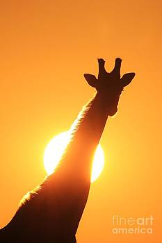 Hermanus A Alberts - Giraffe Sunset Golden Silhouette