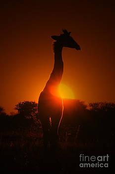 Hermanus A Alberts - Giraffe Sunset Silhouette