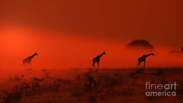 Hermanus A Alberts - Giraffe Sunset Walk of Wildlife