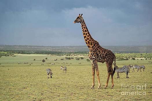 Giraffe by Tomaz Kunst