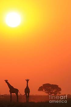 Giraffe Tranquility - Wildlife Beauty from Africa by Hermanus A Alberts
