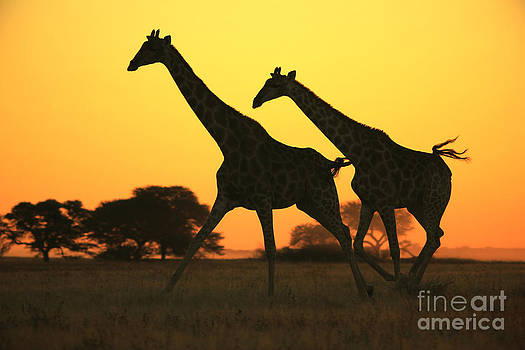 Hermanus A Alberts - Giraffe Wildlife Background and Sunset Gold