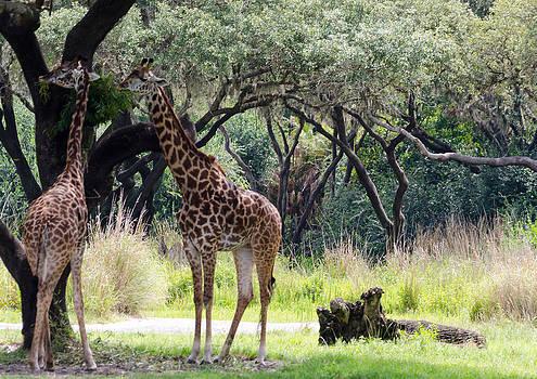 Giraffes Feeding by Maureen E Ritter