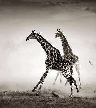 Giraffes fleeing by Johan Swanepoel