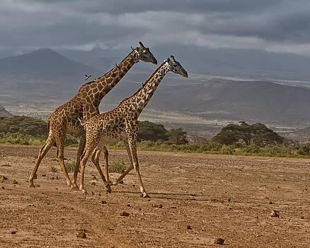 Giraffes by Joel Lieberman