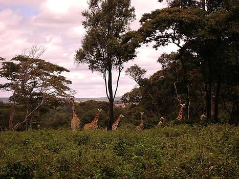 Shesh Tantry - Giraffes