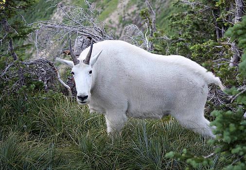 Glacier Goat by Carolyn Ardolino