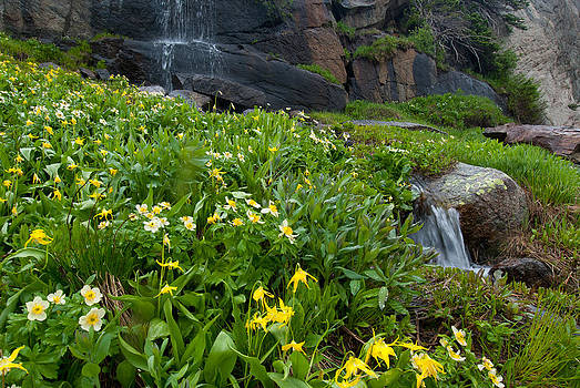 Glacier Lilies and Globeflower beside a Mountain Stream by Cascade Colors