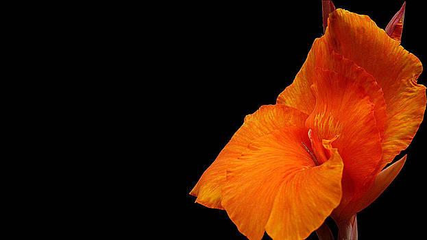 Gladiolus Bloom by Evewin Lakra