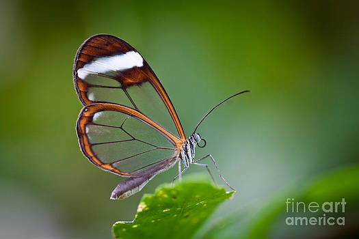 Glass Wing Butterfly by Bahadir Yeniceri