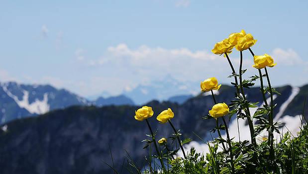 Minartesia - Globeflowers on the Summit