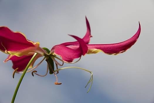 Gloriosa Superba by Esther Branderhorst